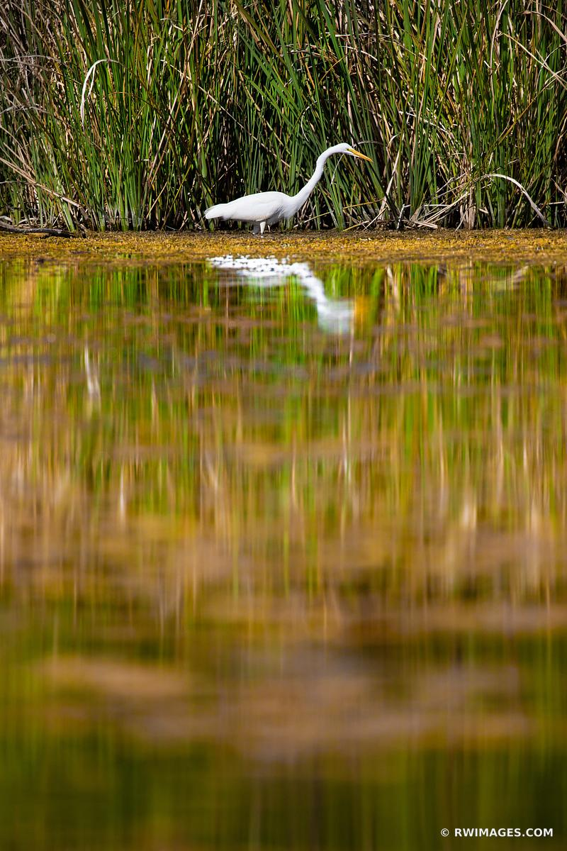 TURNER RIVER WHITE EGRET BIG CYPRESS NATIONAL PRESERVE EVERGLADES FLORIDA VERTICAL COLOR