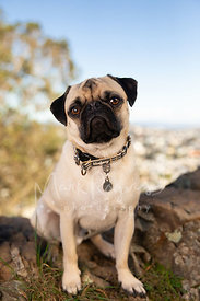 Pug Sitting on Rock Looking at Camera