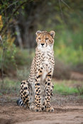 Cheetah, Acinonyx jubatus, Samara Game Reserve, South Africa