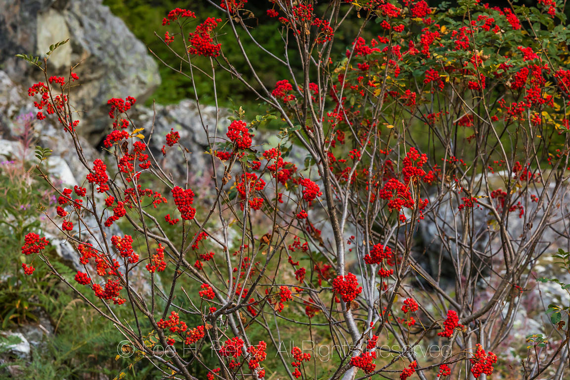 Sitka Mountain-ash with Berries along the Snow Lake Trail
