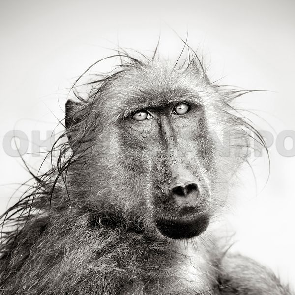Wet Chacma Baboon portrait close-up - b&w fine art