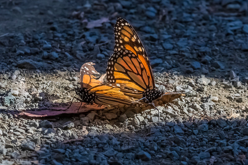 Monarch Butterfly Courtship at Pismo Beach