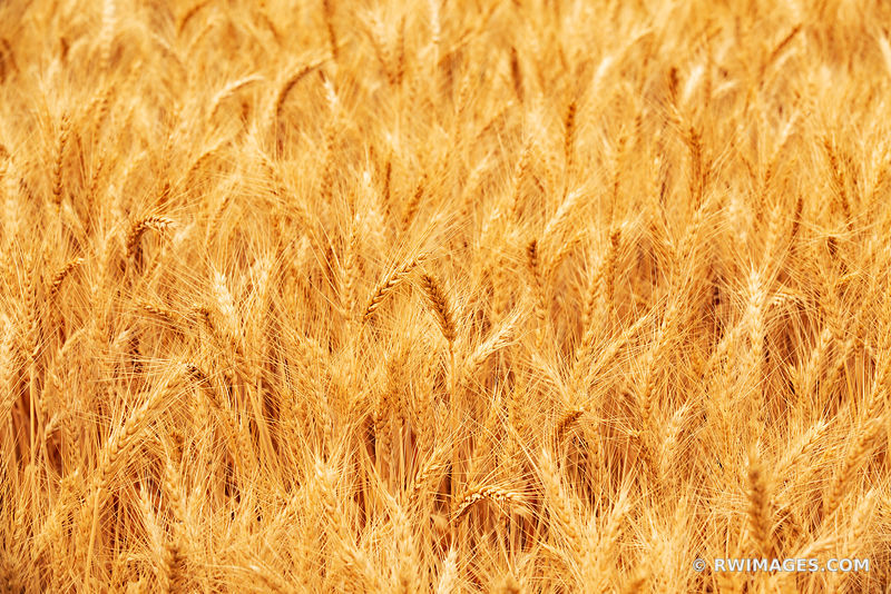 GOLDEN WHEAT FIELD PALOUSE REGION EASTERN WASHINGTON STATE
