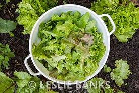Fresh Picked Lettuce in a Bowl