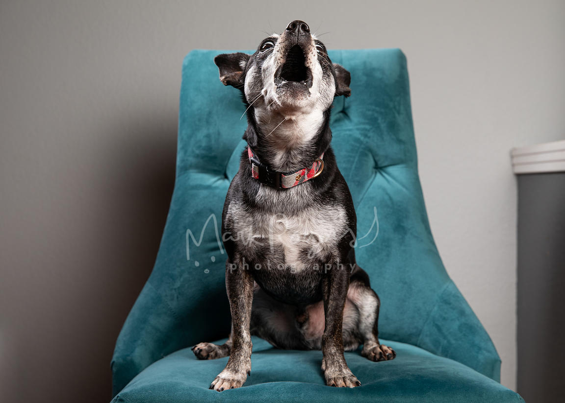 Studio Photo of Small black and gray dog Howling on Blue Chair