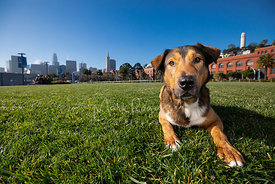 Shepherd Hound Mix Dog  in park Near Coit Tower