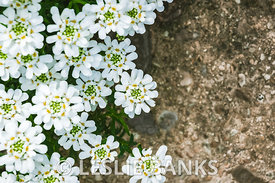 Candytuft Flowers on Aggregate Concrete