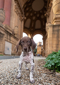 Pointer Puppy Standing in front of Palace of Fine Arts