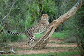 Cheetah scratching a tree, Acinonyx jubatus, Samara Game Reserve, South Africa