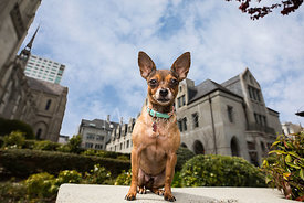 Tan and Brown Chihuahua Sitting Near Grace Cathedral in San Francisco