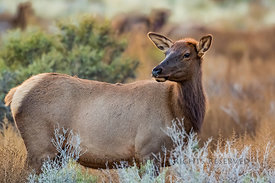 Cow Elk in Chaco Canyon