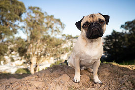Close-up of Pug on Rocks in San Francisco Park