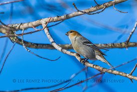 Female Pine Grosbeak in Minnesota's Sax-Zim Bog