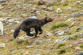Wolverine near Schaffer Lake in Yoho National Park
