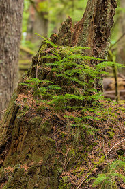Western Hemlocks Growing from Western Red Cedar Stump in Federation Forest State Park