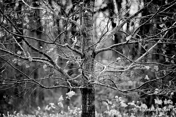 AUTUMN TREE CHICAGO NORTH SHORE RYERSON WOODS FOREST PRESERVE RIVERWOODS ILLINOIS MIDWEST LANDSCAPE NATURE BLACK AND WHITE