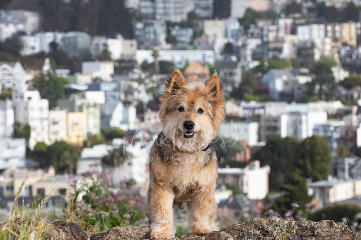 Terrier Corgi Mix Dog with San Francisco Hill Homes in Background