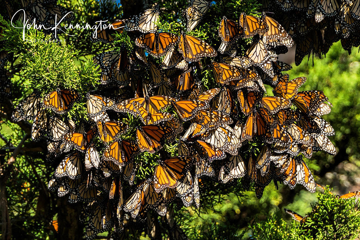 Monarch Butterfly Cluster on Cypress Tree, Santa Cruz, California