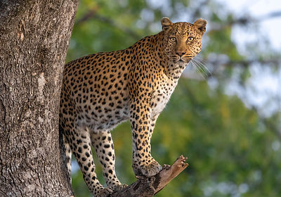Perched_Leopard_Eye_Contact-