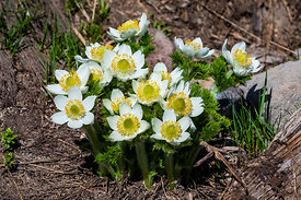 Pasqueflower Blooming at Mount Rainier