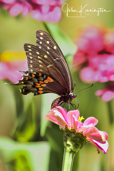 Black Swallowtail on Zinnia, Bixby, Oklahoma