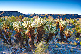 Cholla Garden (Manipulated Image)