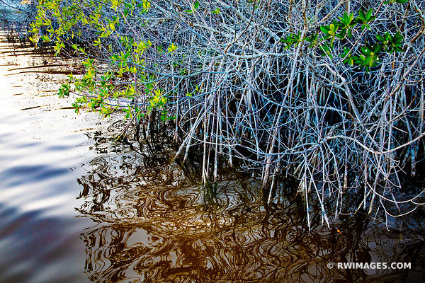 MANGROVES WEST LAKE TRAIL EVERGLADES FLORIDA