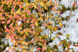 Blueberry Bush in Snow in Yoho National Park