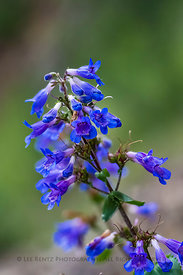 Small-flowered Penstemon in Olympic National Forest
