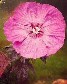 ACutting_hybiscus_pink_flower_iphone