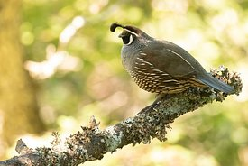 February - California Quail (male)