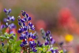 Broadleaf Lupine in a Subalpine Meadow in the Goat Rocks Wilderness