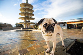 Worried Looking Pug in SF Japantown Peace Plaza