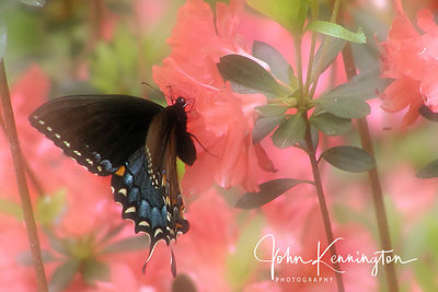 Black Swallowtail on Azalea, Broken Arrow, Oklahoma