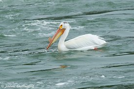 American White Pelican (Pelecanus occidentalis), Yellowstone, USA