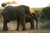 African elephants, Loxodonta africana africana, Thula Thula Game Reserve, South Africa