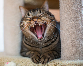 Tabby Cat Yawning Close-up
