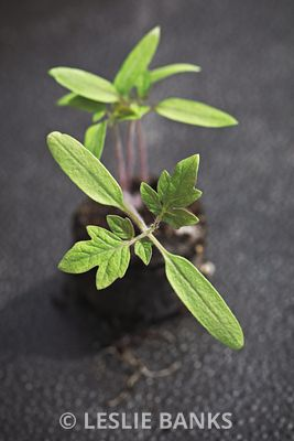 Tomato Seedling Grown in Peat Pellet