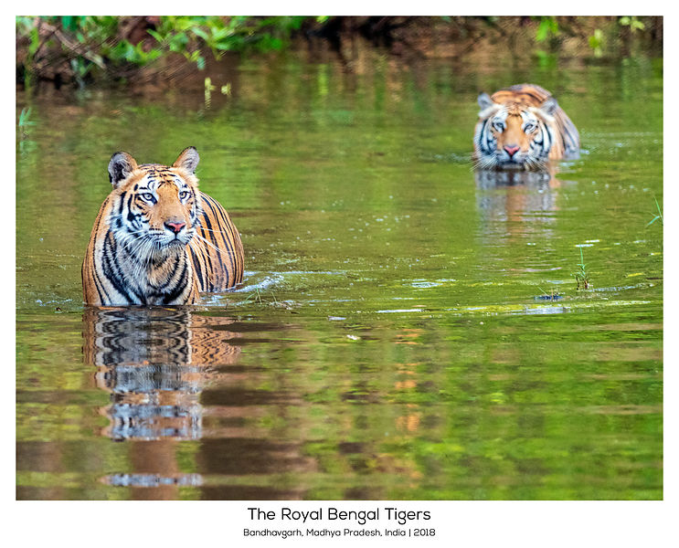 Tiger Cubs in Water, India