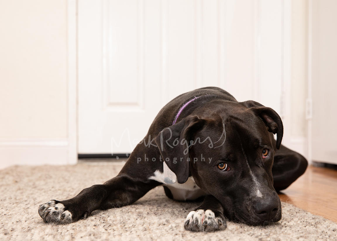 Black and White Pit Bull Lying on Carpet with Head on Paw