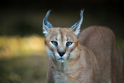 Caracal, Caracal caracal, Emdoneni, South Africa