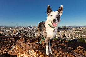 Happy Cattle Dog Mix Standing on Hill Above San Francisco