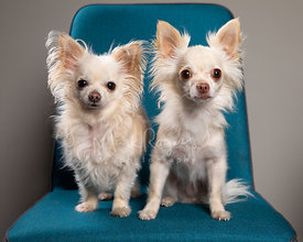 Two White Chihuahuas on Blue Chair