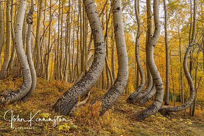 Dancing Aspens No. 2, Uncompahgre National Forest, Colorado
