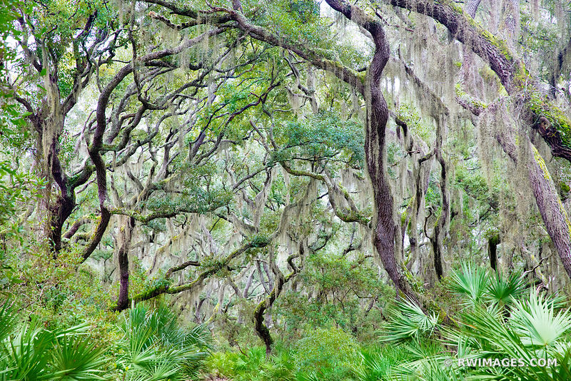 COASTAL FOREST LIVE OAKS TREES SPANISH MOSS CUMBERLAND ISLAND GEORGIA