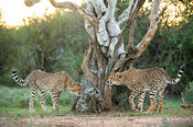Cheetahs sniffing and marking a tree, Acinonyx jubatus, Samara Game Reserve, South Africa