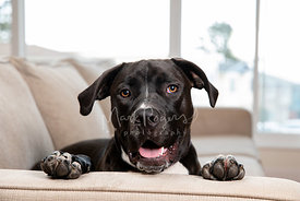 Close up Photo of Smiling Black dog with head and paws on sofa arm