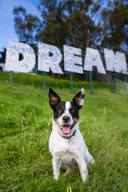 Cattle Dog Mix Sitting on Hill in Front of Dream Sign