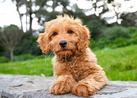 Goldendoodle Puppy Resting on Stone Wall