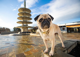 Pug standing  in SF Japantown Peace Plaza
